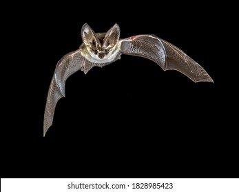 Flying bat isolated on black background. The grey long-eared bat (Plecotus austriacus) is a fairly large European bat. It has distinctive ears, long and with a distinctive fold. It hunts above woodlan