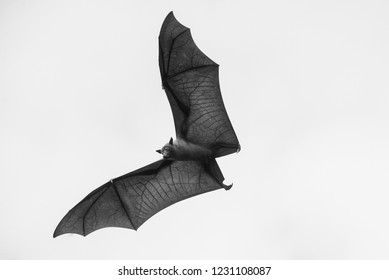 Flying bat isolated on white background