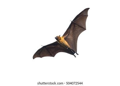 Flying bat isolated on white background