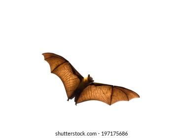 Flying bat (Lyle's flying fox) isolated on white background.