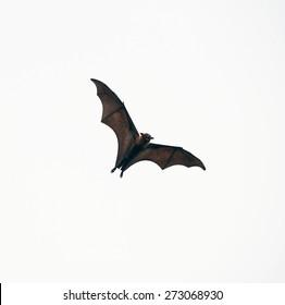 Flying bat (Lyle's flying fox) isolated on white background