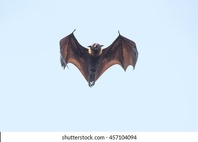 Flying bat on blue sky