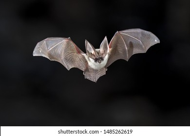 Flying bat on dark background. The grey long-eared bat (Plecotus austriacus) is a fairly large European bat. It has distinctive ears, long and with a distinctive fold. It hunts above woodland.
