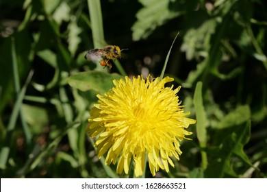 Flying bee is approaching a dandelion flower, or Taraxacum in Latin