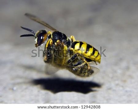 Bộ sưu tập Côn trùng - Page 64 Flying-bee-hunter-beewolf-philanthus-450w-12942808