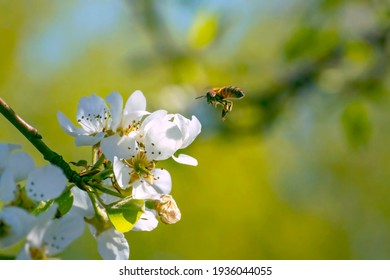 A flying bee pollinates white flowers of the apple blossoms in Spring. Blurred nature background.
