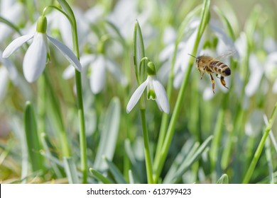 Flying bee to snowdrop flower. Early spring close-up flowers and working honeybee.