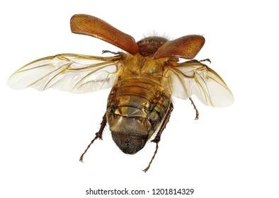 Flying beetle (Coleoptera: Scarabaeidae) isolated on a white background