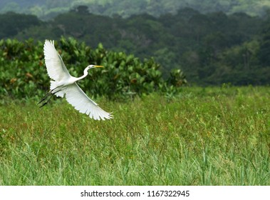a flying big white bird, Great Egret, Ardea alba, in its natural habitat in Frencg Guiana marsh on green background