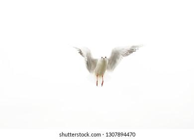 flying bird. Beautiful seagull. White background.