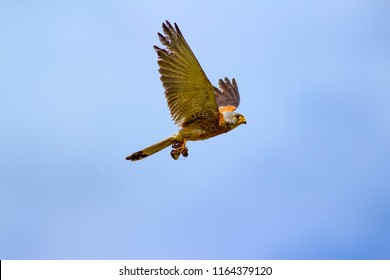 Flying bird. Blue sky background. Common Kestrel. Lesser Kestrel / Falco naumanni