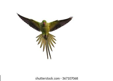 Flying bird. Isolated on white background. Bird: Rose ringed Parakeet. Psittacula krameri.