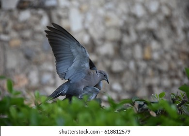 Flying bird in love. Pigeons in the period of love copulate