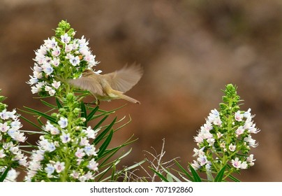 Flying bird next to the clusters of echium flowers, phylloscopus canariensis, Canary islands