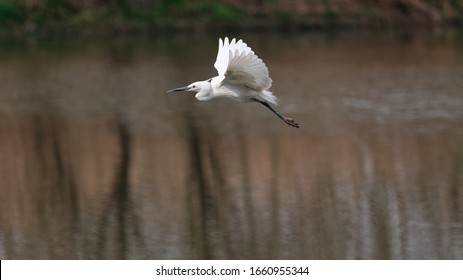 Flying bird over lake, great white egret fly over water like dancing with wings open.
