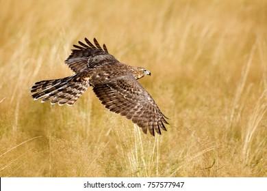 Flying bird of prey Goshawk, Accipiter gentilis, with yellow summer meadow in the background, bird in the nature habitat, action scene, German. Wildlife scene from nature.
