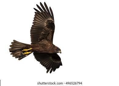 Flying bird of prey. Isolated hawk. White background. Bird: Western Marsh Harrier. Circus aeruginosus.