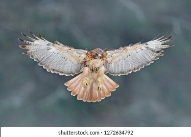 Flying bird of prey, Red-tailed hawk, Buteo jamaicensis, landing in the forest. Wildlife scene from nature. Animal in the habitat. Bird with open wings, winter condition, trees with snow.