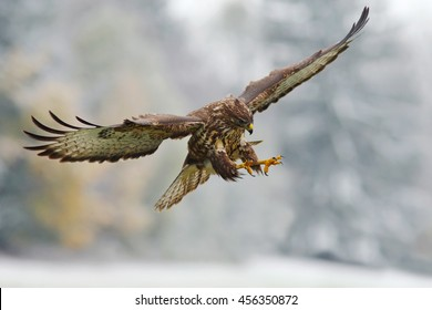 Flying bird of prey in the snowy forest with open wings. Action scene from nature. Common Buzzard, Buteo buteo, in flight with snow.