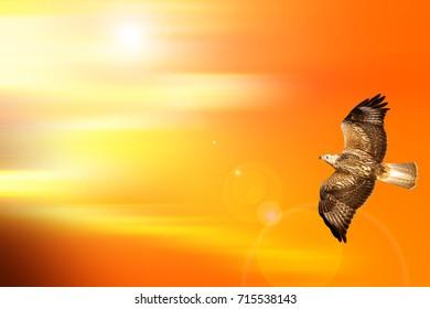 Flying bird. Bird of prey. Sunset sky nature background.