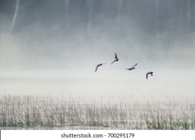 Flying birds against a background of white morning fog over lake shore. Anas crecca, Eurasian Teal. Moody photo.