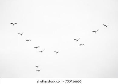 flying birds migratory passage sandhill crane in the sky