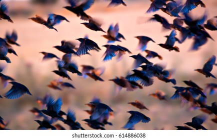 Flying birds. Birds silhouettes. Warm color nature background. Bird species; Common Starling. Sturnus vulgaris.
