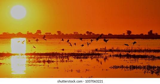 Flying birds at sunset at Zambezi river
