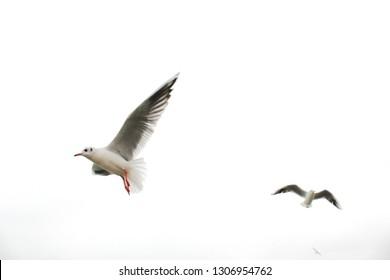 Flying birds. White seagulls. Light sky.