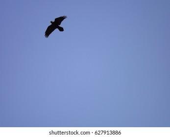 Flying black bird