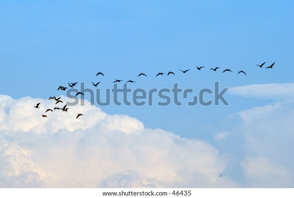 Flying black bird flock in Dubai