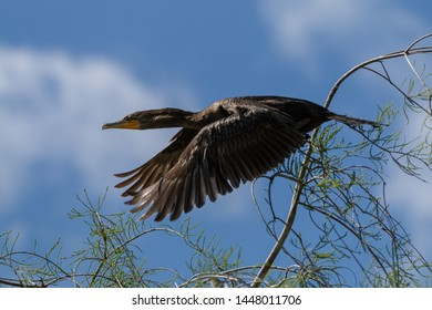 flying black cormorant in front of blue sky