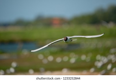 flying black headed gull on a colorful blurry bokeh background in Texel Holland Netherlands