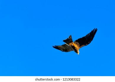 Flying black kite (Milvus migrans)