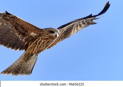 Flying Black Kite. Photograph was taken in Enoshima in Japan.