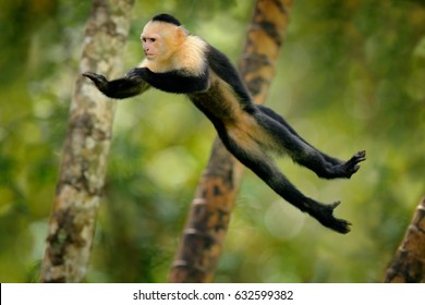 Flying black monkey White-headed Capuchin in tropical forest. Animal in the nature habitat, humorous behavior. Funny image from nature with monkey. Wildlife in Costa Rica. Mammal in flight.