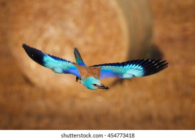 Flying blue European roller, Coracias garrulus. Motion blur express speed, brownish cornfield and straw bale in background. Hungary, Europe, summer.