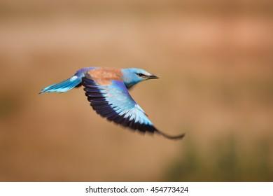 Flying blue European roller, Coracias garrulus. Motion blur express speed, brownish cornfield in background. Hungary, Europe, summer.