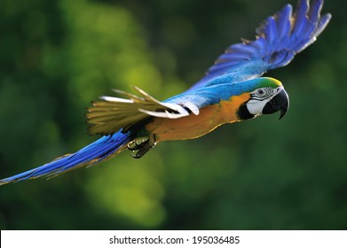 Flying blue-and-yellow Macaw- Ara ararauna from side