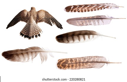 flying brown falcon and feathers set isolated on white background