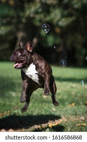 Flying brown funny dog French Bulldog with soap bubbles in the summer outdoors on a background of greenery and nature