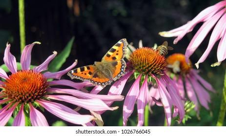 Flying butterfly next to flowers je?ówki,fioletowy,motyl,pszczo?a,nektar,