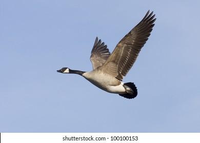 Flying Canada Goose