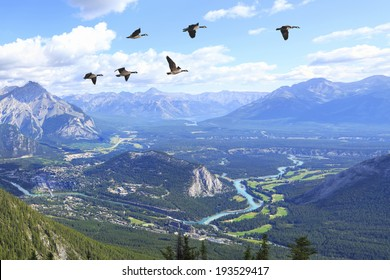 Flying Canadian geese over Bow river valley with the golf courses against Rocky Mountains. Banff National Park. Alberta. Canada