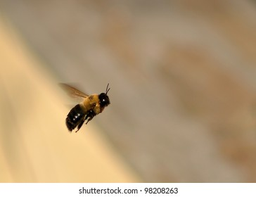 flying carpenter bee