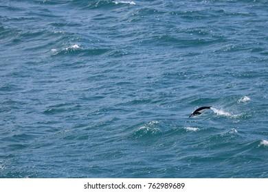 Flying chinstrap penguin