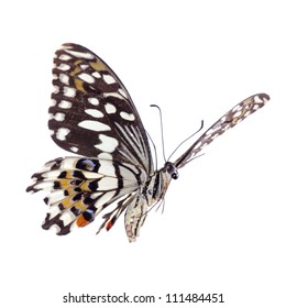 flying citrus swallowtail lime butterfly, Papilio demoleus,isolated on white