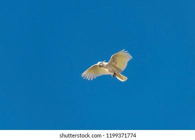 Flying Cockatoo, Sydney Australia