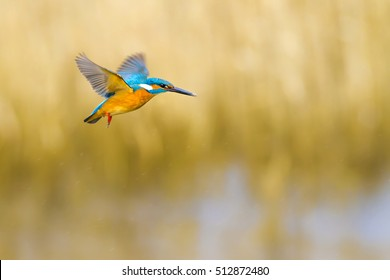 Flying colorful bird Kingfisher. Kingfisher hovering. Yellow nature background. Bird: Common Kingfisher. Alcedo atthis.