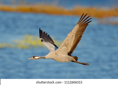 Flying Common Crane, Grus grus, big bird in the nature habitat, Lake Hornborga, Sweden. Wildlife scene from Europe. Grey crane with long neck, water lake in the background.